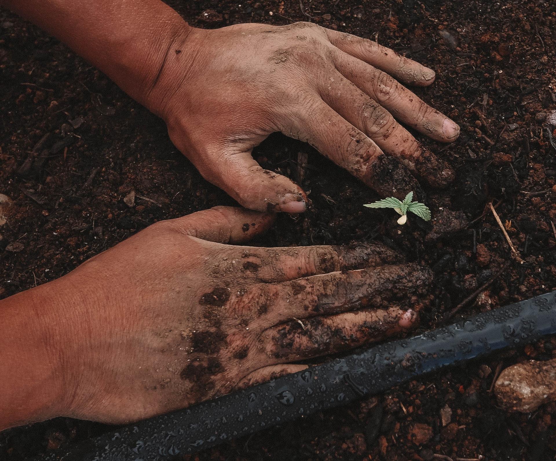 A man's hands seen planting in fresh soil